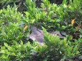坪林鳥生態:IMG_6289.JPG