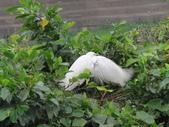 坪林鳥生態:IMG_6291.JPG