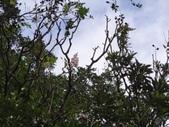 百年鐘萼木   :DSC01211.JPG