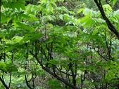 百年鐘萼木   :DSC04675 (Copy).jpg