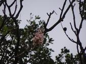 百年鐘萼木   :DSC01232.JPG