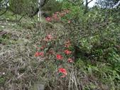 鐘萼木杜鵑花 2014.02.17    阿課達人攝:DSC04959.JPG