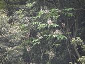 百年鐘萼木   :DSC06456.JPG