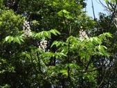 百年鐘萼木   :DSC06905.JPG