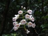 百年鐘萼木   :DSC00122 (Copy).jpg