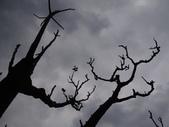 百年鐘萼木   :DSC02116.JPG