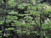 百年鐘萼木   :DSC00160 (Copy).jpg