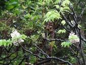 百年鐘萼木   :DSC01682 (Copy).jpg