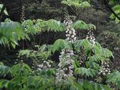 百年鐘萼木   :DSC00636 (Copy).jpg