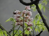 百年鐘萼木   :DSC09506 (Copy).jpg