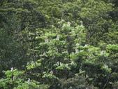 百年鐘萼木   :DSC02329 (Copy).jpg