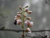 百年鐘萼木   :DSC09044 (Copy).jpg
