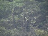 百年鐘萼木   :1061290600_l.jpg