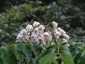 百年鐘萼木   :DSC00511 (Copy).jpg