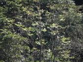 百年鐘萼木   :1064375032_l.jpg