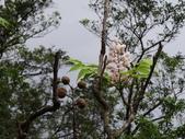 百年鐘萼木   :DSC02132.JPG