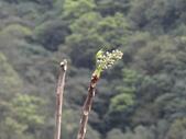 鐘萼木杜鵑花 2014.02.17    阿課達人攝:DSC06035.JPG