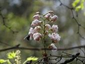 百年鐘萼木   :DSC09186 (Copy).jpg