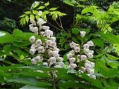 百年鐘萼木   :DSC07629.JPG