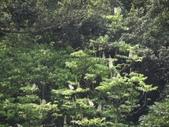 百年鐘萼木   :DSC08711.JPG