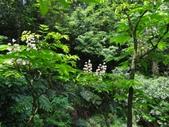 百年鐘萼木   :DSC07578.JPG