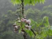 百年鐘萼木   :DSC09511 (Copy).jpg