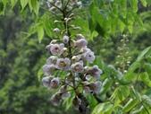 百年鐘萼木   :DSC09693 (Copy).jpg