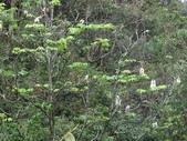 百年鐘萼木   :DSC07768 (Copy).jpg