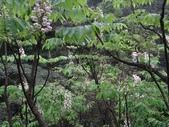百年鐘萼木   :DSC00530 (Copy).jpg