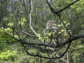 百年鐘萼木   :DSC09209 (Copy).jpg