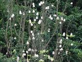 百年鐘萼木   :DSC09707.jpg