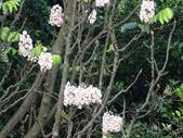 百年鐘萼木   :DSC09717.jpg
