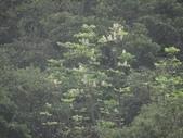 百年鐘萼木   :DSC07704 (Copy).jpg