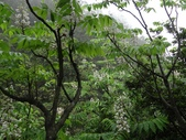 百年鐘萼木   :DSC01550 (Copy).jpg