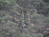 百年鐘萼木   :DSC09665.JPG
