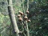百年鐘萼木   :DSC08842 (Copy).jpg