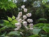 百年鐘萼木   :DSC07533.JPG