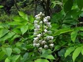 百年鐘萼木   :DSC04010 (Copy).jpg