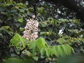 百年鐘萼木   :DSC00079 (Copy).jpg