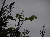 百年鐘萼木   :DSC01127 (Copy).jpg