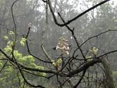 百年鐘萼木   :DSC09051 (Copy).jpg