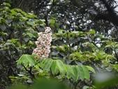 百年鐘萼木   :DSC01086 (Copy).jpg