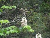 百年鐘萼木   :DSC07781 (Copy).jpg