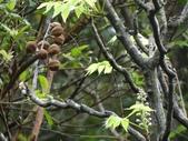 百年鐘萼木   :DSC01588 (Copy).jpg