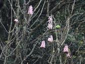 百年鐘萼木   :DSC09749.jpg