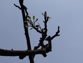 百年鐘萼木   :DSC08850 (Copy).jpg