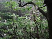 百年鐘萼木   :DSC01499 (Copy).jpg