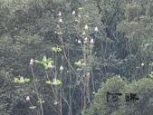 百年鐘萼木   :DSC09755.jpg