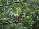 百年鐘萼木   :DSC01602 (Copy).jpg