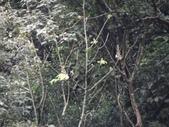 百年鐘萼木   :DSC04437.JPG